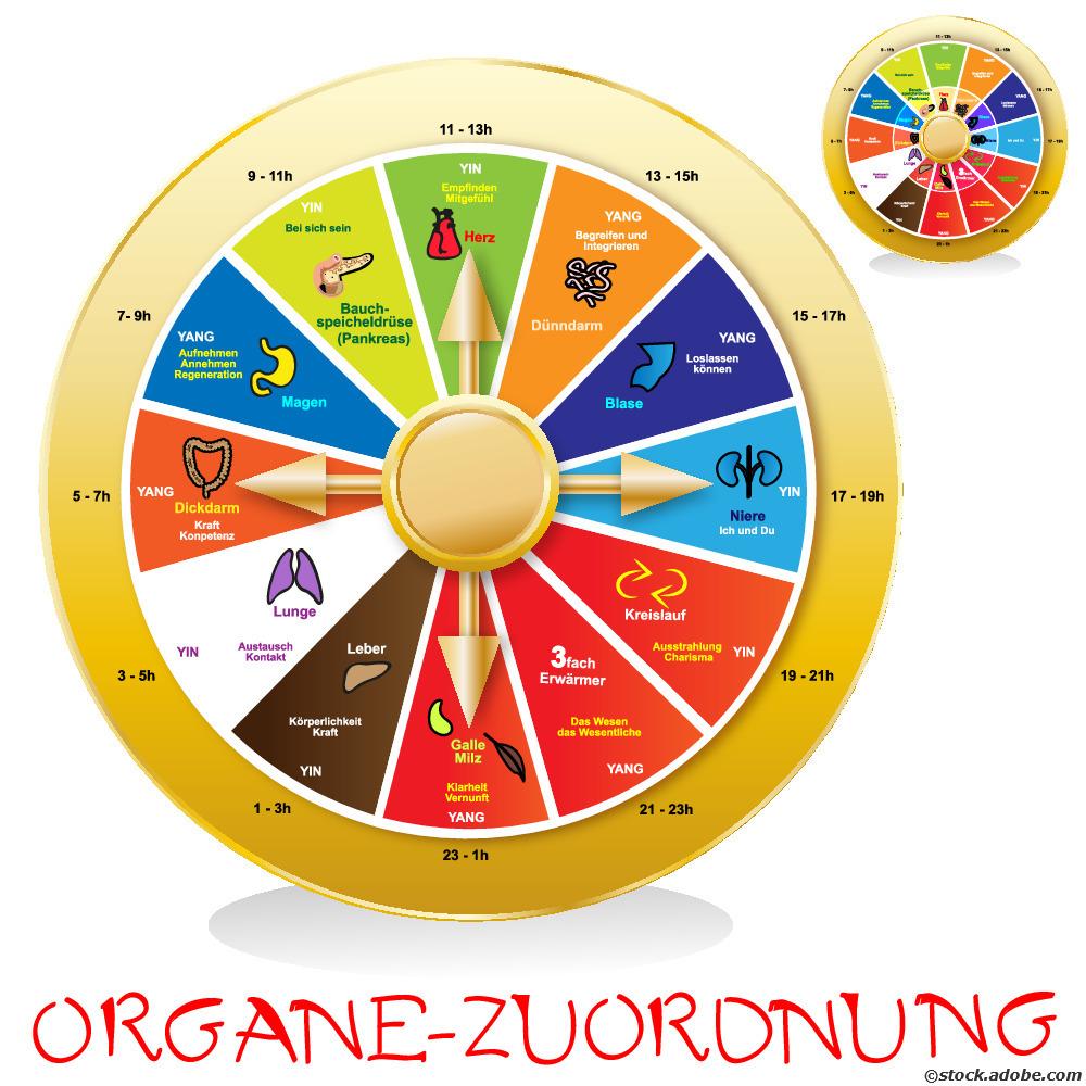 Organuhr 24 Stunden Rhythmus des Körpers