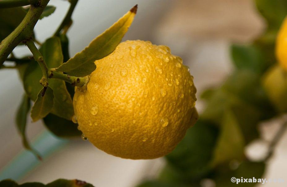 Nasse Zitrone an Baum